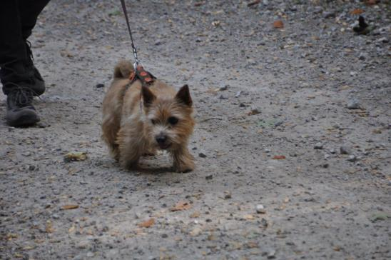 Norwich Terrier Percy